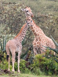 Giraffe Mom and Young