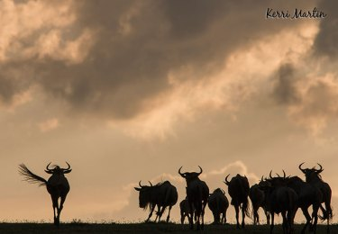 Wildebeests Silhouette