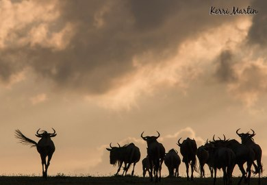 Wildebeests Silhouette