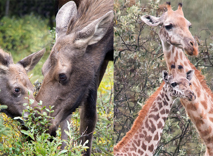 giraffeemoosegentle