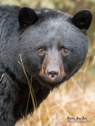 'Gentle eyes' Black bear