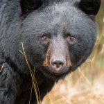 Injured black bear elicits inaction from the province of Alberta