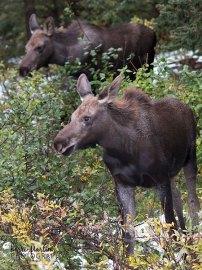 Two Mini Moose