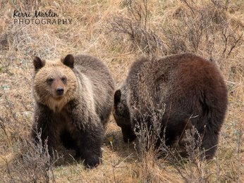 Grizzly yearlings