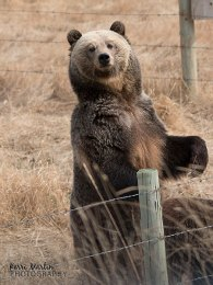 Grizzly Mom Standing