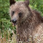 Vicious or gentle: what is the true nature of a bear?