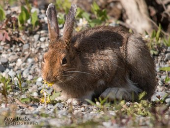 Snow Shoe Hare
