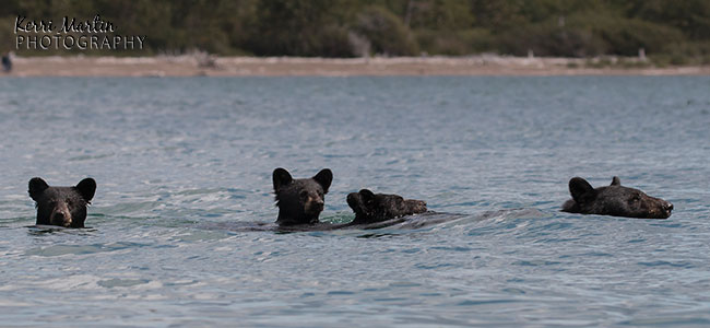 swimmingblackbear2