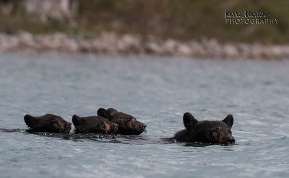 Swimming Black Bear Family