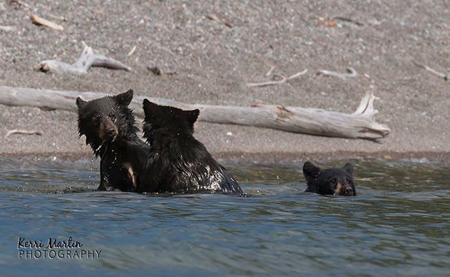swimmingblackbear6