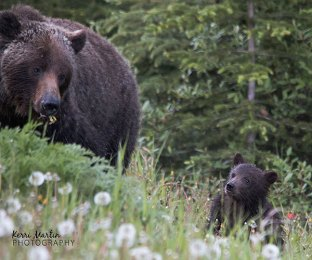 Grizzly Bear Mom & Cub