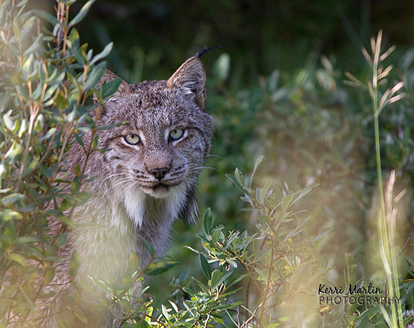 Lynx_uncrop