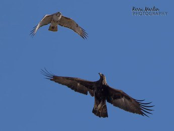 Golden Eagle vs. Red-tailed Hawk