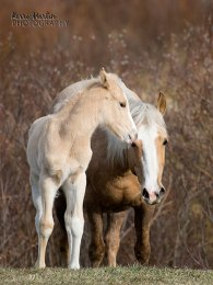 Wild Horse mare and Foal