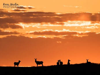 Sunrise Elk
