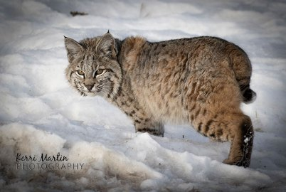 Bobcat4