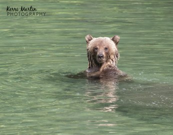 Swimming Grizzly