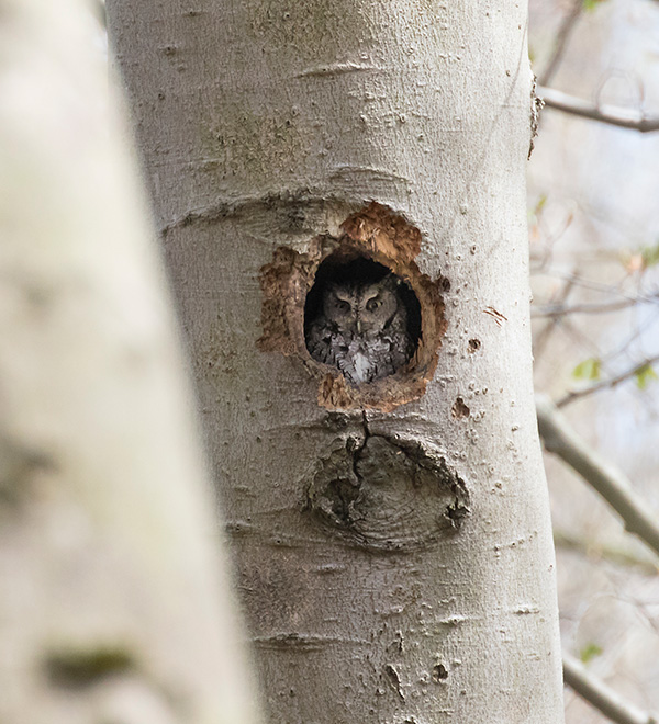 Game of Thrones + Eastern Screech Owl photo illustrate the foundation of creative vision