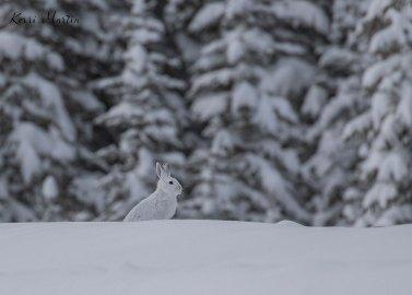 SnowshoeHare15