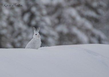 SnowshoeHare01