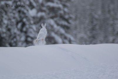 SnowshoeHare03