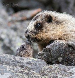 Hoary Marmot Kiss