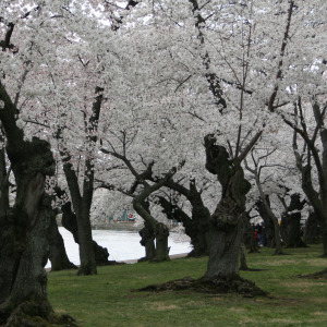 What do 3,000 cherry blossom trees look like? (via Inside ArtHead)