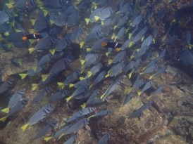 King Angelfish Among Yellowtail Surgeonfish