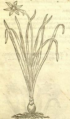 daffodil-gerard 1597 herball