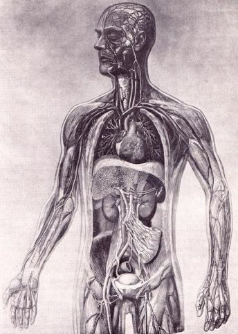 human-body-vintage-scientific-illustration-naturalist-drawing-0047