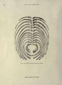 human-body-vintage-scientific-illustration-naturalist-drawing-0049