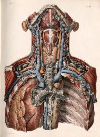 human-body-vintage-scientific-illustration-naturalist-drawing-0058