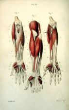 human-body-vintage-scientific-illustration-naturalist-drawing-0059