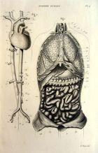 human-body-vintage-scientific-illustration-naturalist-drawing-0076