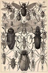 Antique Insect Prints