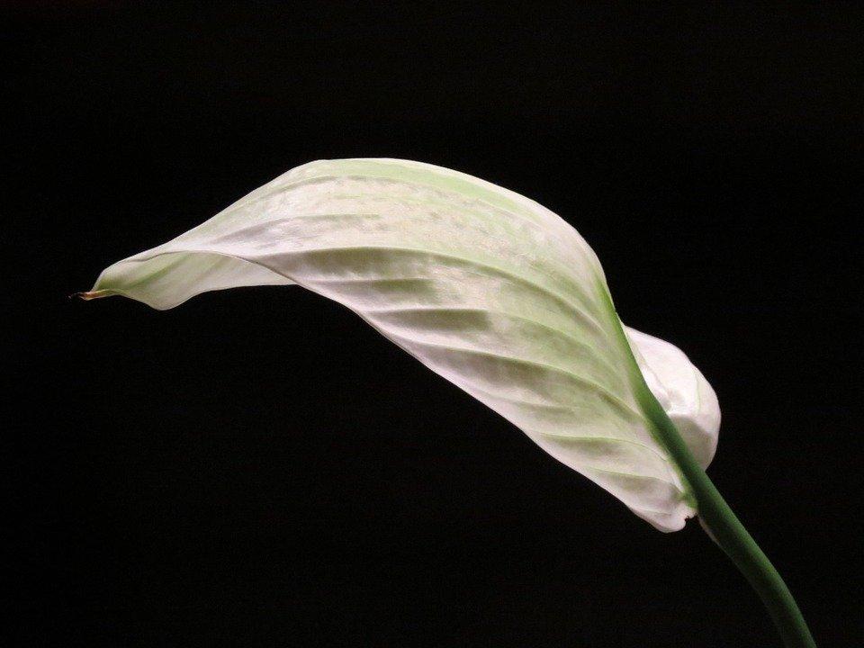 vitorlavirág