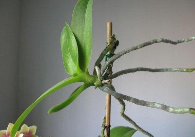 orchidea szaporítás