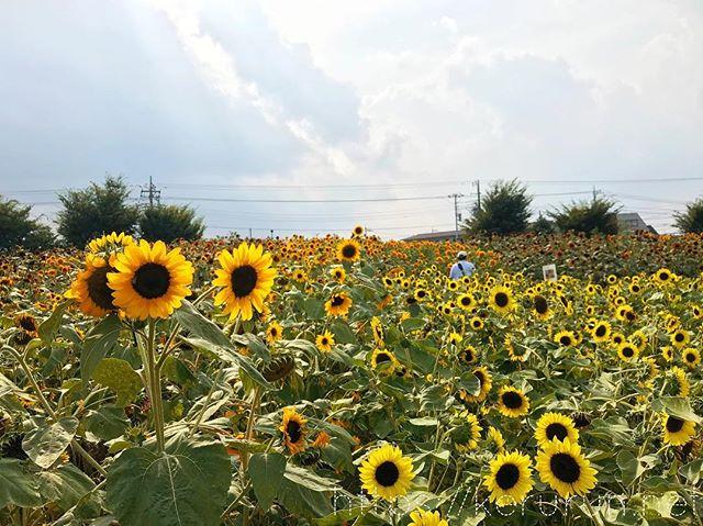 ひまわり畑@ひまわりガーデン武蔵村山
