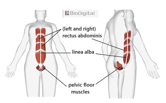 Image Showing the Rectus abdominis muscles and linea alba 