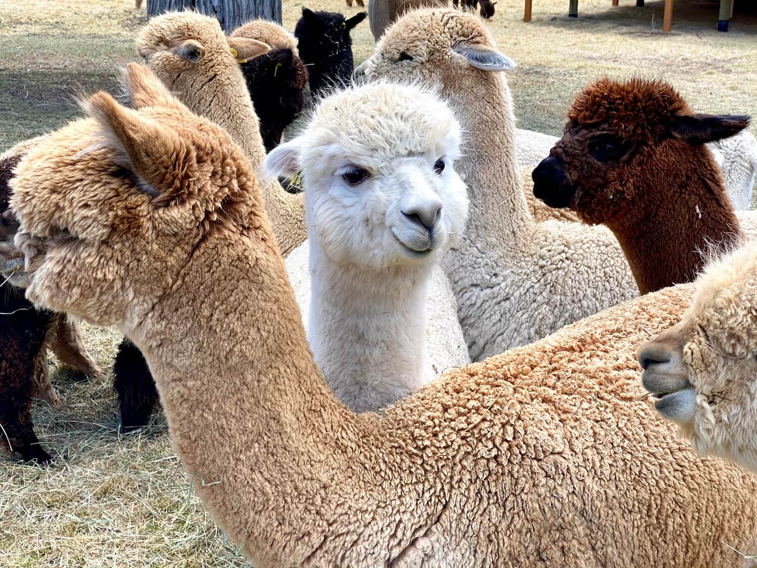 A white alpaca looks forward around other animals of brown and dark brown colors. Visiting an alpaca farm is a fun thing to do in Bend Oregon while visiting Central Oregon.