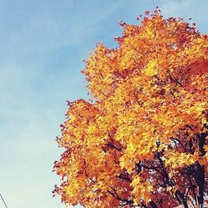 Syksy: keltainen puun lehvästö sinistä taivasta vasten