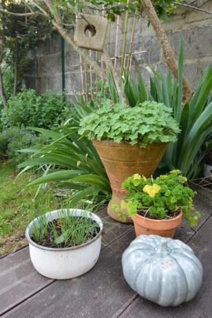 ciboulette, persil, géranium rampant (macrorrizhum czakor)