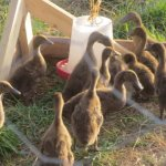 a flock of ducklings at a feeder