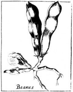 black and white botanical illustration of beans