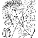 detailed botanical illustration of parsley