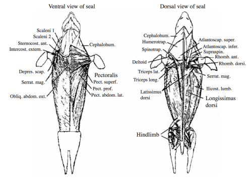 small resolution of anatomical view of seal muscles 1 click image to enlarge