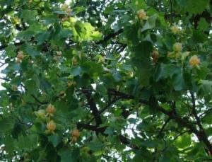 Copacul cu lalele din Aninoasa