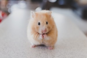 Stop, Hamster Time