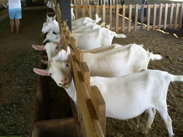 Avaliação de um aparelho portátil para quantificar a concentração de ß-hidroxybutyrato em cabras leiteira