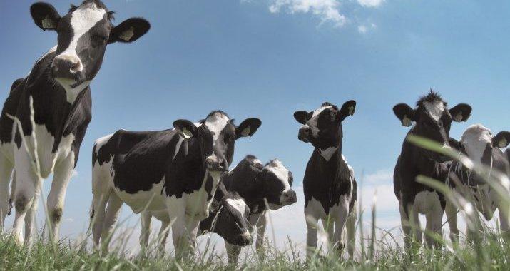 Hipocalcemia em bovinos